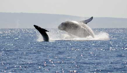 Whale Watching Maui | Humpback Whales